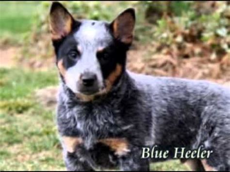 australian cattle puppies for sale in pa australian cattle puppies for sale in pa