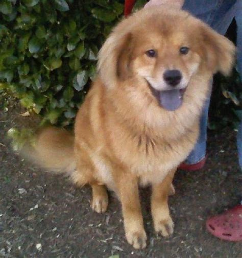 golden retriever chow 49 best images about chow mixes on chow chow adoption and chow chow mix
