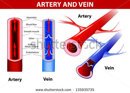 color of blood in veins circulatory system stock photos images pictures