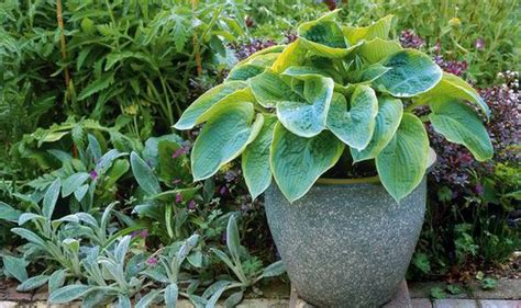 Outdoor Patio Ideas by Hostas Plants That Last All Year Garden Life Amp Style