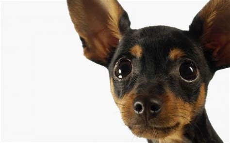alimentazione pinscher medio pinscher razza descrizione carattere cuccioli
