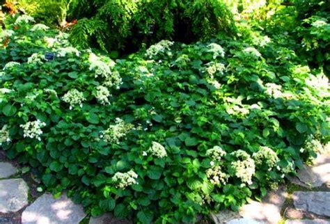 planting climbing hydrangea pin by buek on gardens