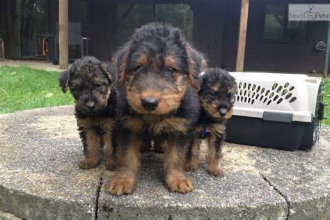 airedale puppies for sale in michigan airedale terrier puppy for sale near grand rapids michigan 7d956beb db51