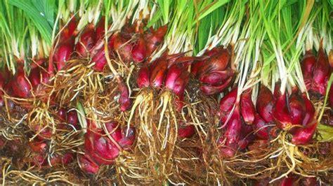 Benih Bawang Merah Umbi ini dia 43 khasiat bawang dayak kabarnusa