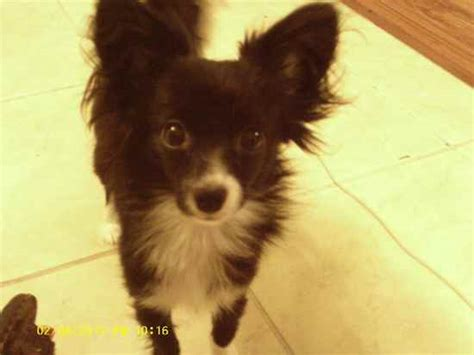 chion yorkie puppies breed papillon and chihuahua mix breeds picture