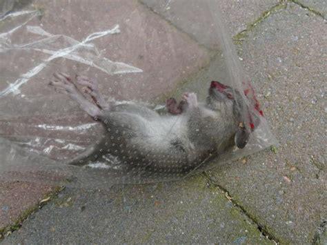 huis muis muis rat in huis schuur moestuin forum voor en door
