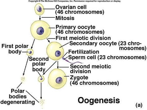 diagram oogenesis oogenesis is a monthly event that produces haploid egg by