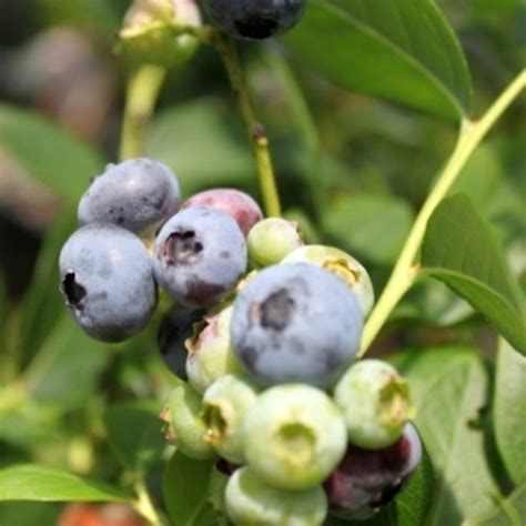 mirtillo americano in vaso mirtillo americano quot blue crop quot vaccinium corymbosum