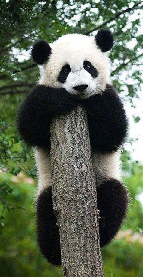 panda bear panda bear 0805080783 best 25 baby panda bears ideas on cute panda cute panda baby and pandas