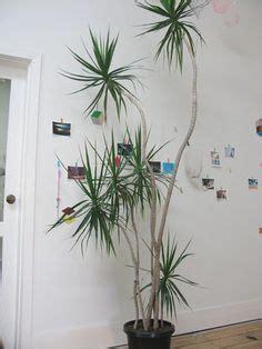 Best 25  Dracaena plant ideas on Pinterest   Janet craig