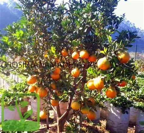 Jual Bibit Buah Buahan Langka grosir tanaman hias jeruk dekopon