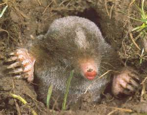 moles in yard how to kill them