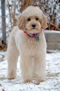 doodle haircut pictures best 25 goldendoodle haircuts ideas on