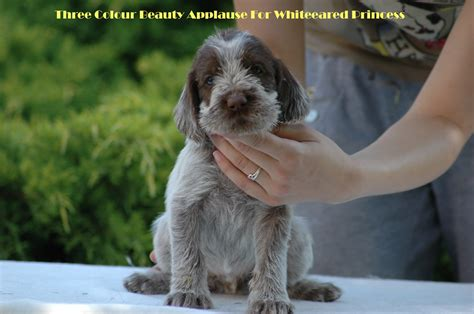 spinone italiano puppies spinone italiano puppies 4 weeks three colour