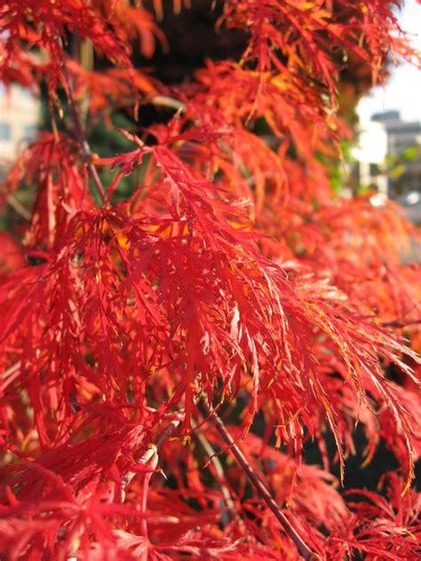 growth pattern of japanese maple dwarf japanese maple tree japanese maples are showing