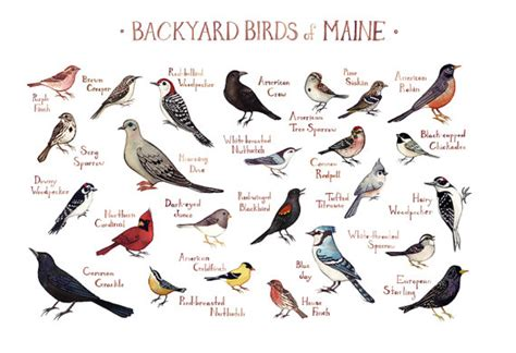 backyard bird identification chart maine backyard birds field guide art print watercolor