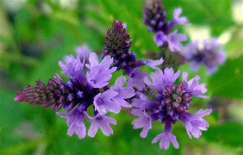 vervain fiori di bach fiori di bach diana cordara