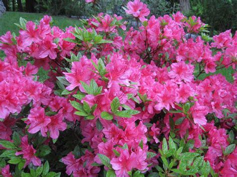 care for azalea both indoor and outdoor azalea