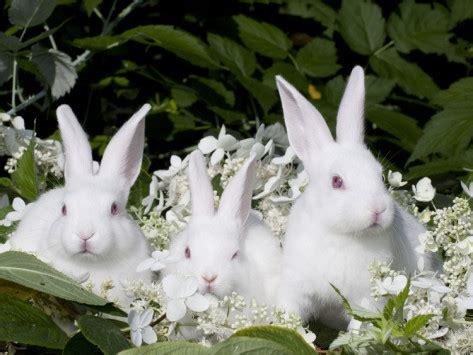 12 Md Rabbit Bery White white rabbits and birthday wishes polysyllabic profundities