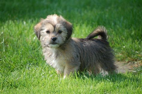 yorkie lhasa apso lhasa apso x terrier pups coleford gloucestershire pets4homes