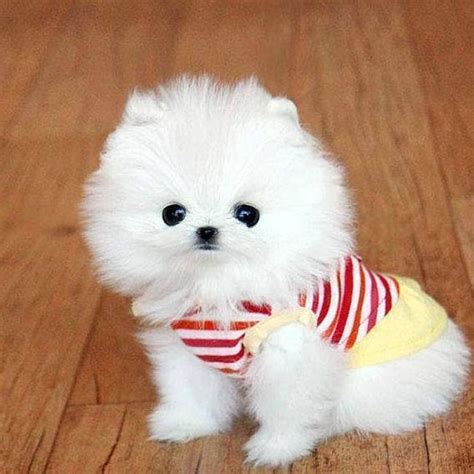 pomeranian ohio 25 best ideas about pomeranian puppies for sale on tiny puppies for sale