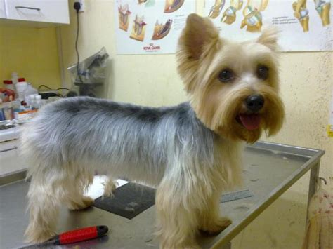 silky terrier with haircut search results for haircuts for silky terriers pictures