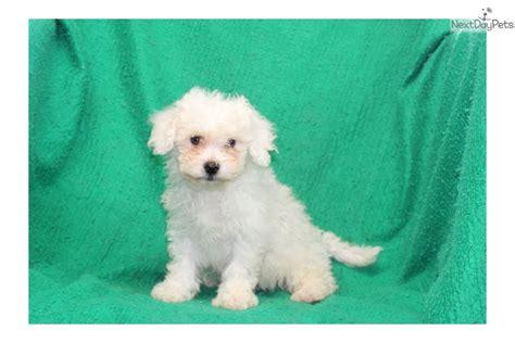 bichon frise puppies for sale near me bichon frise puppy for sale near lancaster pennsylvania 6b774070 a061