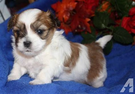 brown maltese shih tzu malshi maltese shih tzu white with brown spots for sale in gaylord michigan