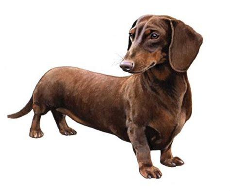 wiener breed dachshund wisdom panel