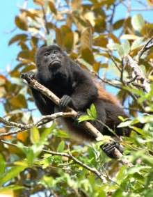 What Animals Live In The Canopy Layer by Tropical Rainforest Canopy Layer Facts