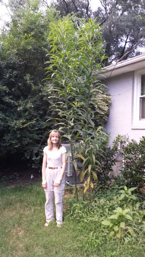 weeds in the backyard 4 feet tall really tall joe pye weed