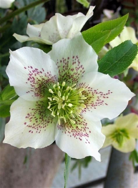 elleboro fiore elleboro helleborus helleborus orientalis fiori di