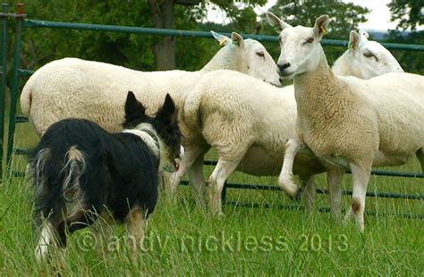 sheep puppy border collie sheep herding breeds picture