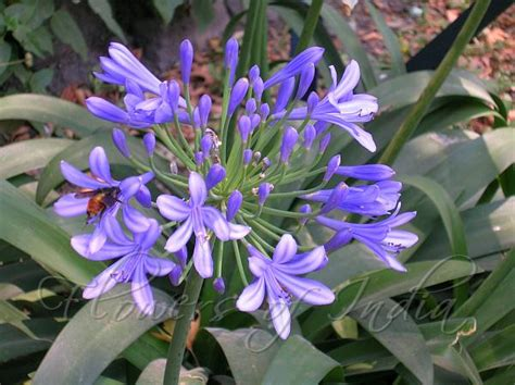 agapanthus africanus lily of the nile