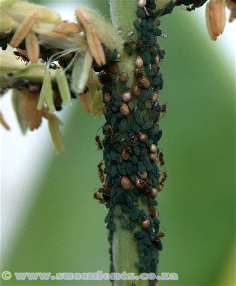 aphids how to control this succulent pest