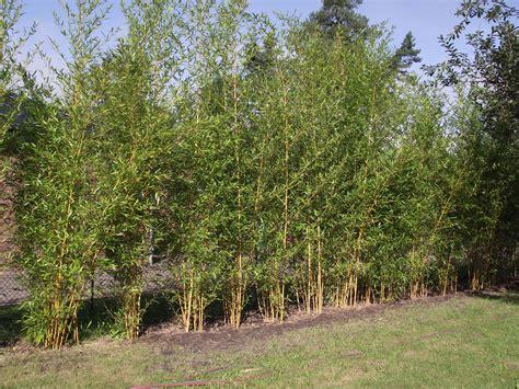 bambus hecke schneiden bambus schneiden bambus schneiden wann wie oft ist das