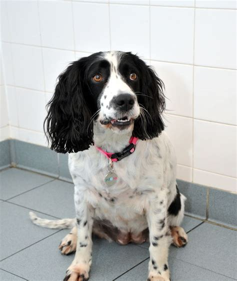 Does Cocker Spaniel Shed by Harley The Cocker Spaniel Before The Weight Loss Uk S