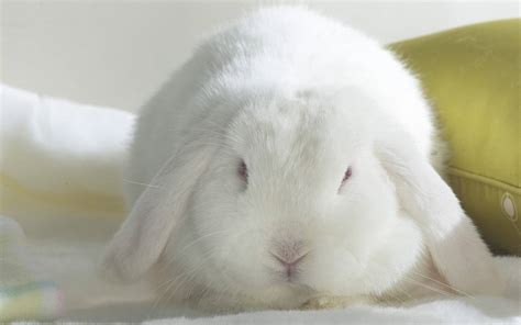Rabbit White White Rabbit Wallpaper Bunnies Wallpaper