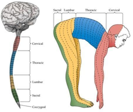 spinal dermatomes | dermatome: area of skin that is mainly