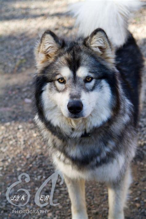 half wolf half half half wolf by elykaerphotography on deviantart