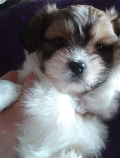 papillon cross shih tzu shih tzu x papillon pup ready now reduced 300 crewe cheshire pets4homes