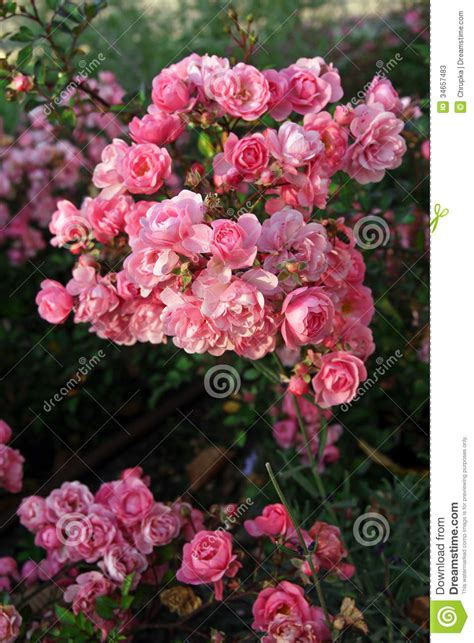 beautiful pink roses  garden stock image image