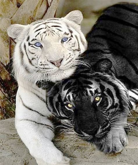 white tiger home decor white tiger home decor wedding decor