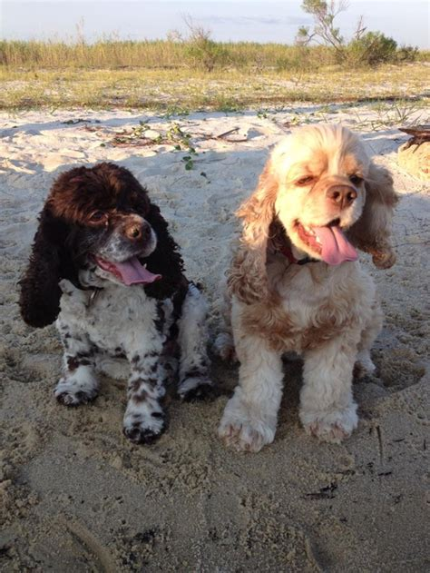 cocker spaniel puppies florida florida cocker spaniel rescue gracey s