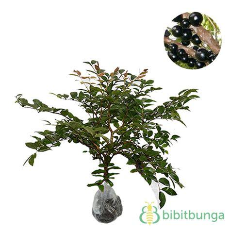 Pohon Buah Anggur Brazil tanaman anggur brazil jaboticaba bibitbunga