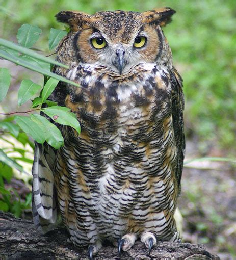 great horned owl florida eco travel guide