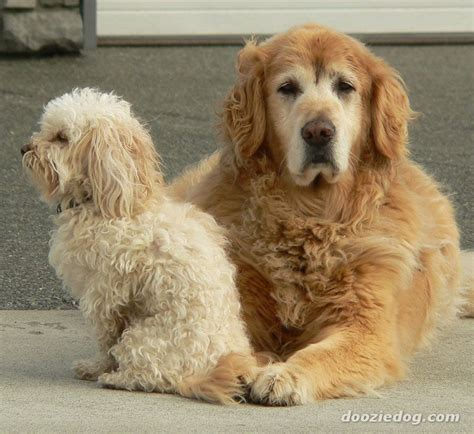 types of golden retriever breeds types of breeds golden retriever breeds picture