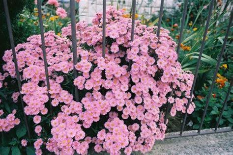 aster fiori astro aster dumosus aster domusus perenni astro