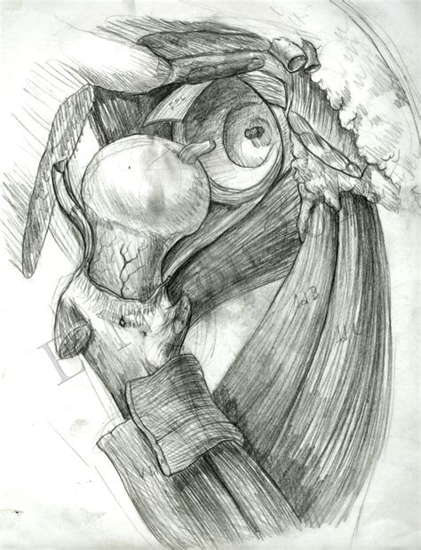 sketchbook joint anatomy sketch hip joint by elizabethnixon on deviantart