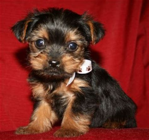 teacup yorkie puppies for sale melbourne and teacup yorkie puppies for sale